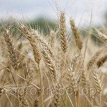 Озимая пшеница, Краснодарская Селекция, АСКЕТ, Элита