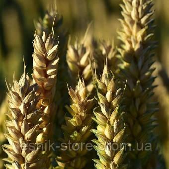 Озимая пшеница, Краснодарская Селекция, ТАНАИС, Элита