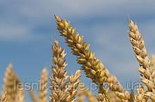 Озимая пшеница, Краснодарская Селекция, ДОНСКАЯ ЮБИЛЕЙНАЯ, Элита