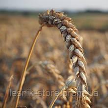 Озимая пшеница, Краснодарская Селекция, КАРАВАН, Элита