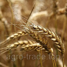 Озимая пшеница, Краснодарская Селекция, ГРАФ, Элита
