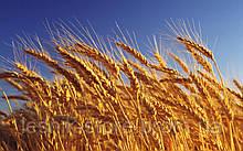 Озимая пшеница, Краснодарская Селекция, СВАРОГ, Элита
