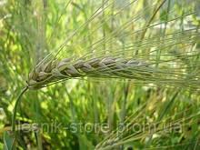 Озимая пшеница, Краснодарская Селекция, ВЕХА, Элита