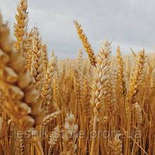 Озимая пшеница, Краснодарская Селекция, АНТОНИНА, Элита