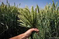 Озимая пшеница, ФЕЛИКС, Saaten Union, 1 Репродукция