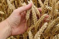 Озимая пшеница, АТЛОН, Saaten Union, 1 Репродукция