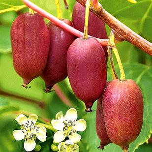 Саженцы актинидии (киви) Кенс Ред (Kens Red) - женский сорт, морозостойкая, урожайная
