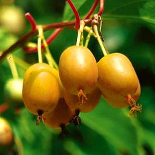 Саженцы Актинидии (киви) Дженни (Jenny) - женский сорт, крупноплодная, урожайная