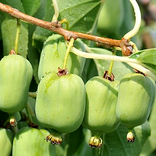 Саженцы Актинидии (киви) Киевская Гибридная (Kiev Hybrid) - двудомная, крупноплодная, морозостойкая