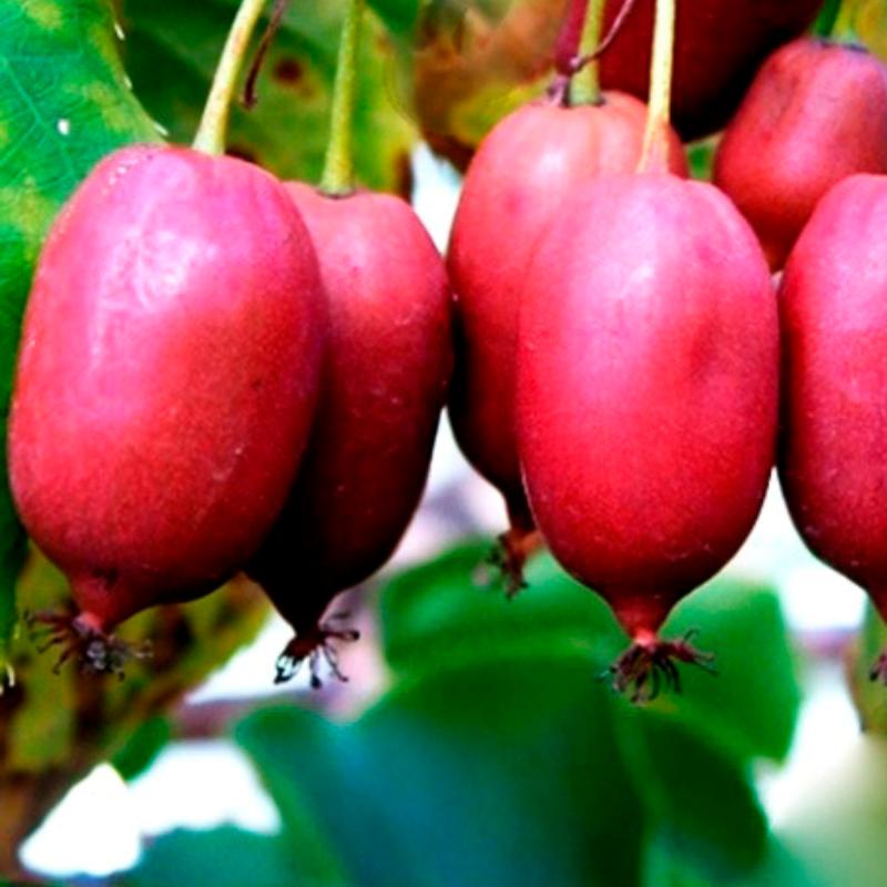 Саджанці актинідії (ківі) Пурпурова (Purple) - жіночий сорт, урожайна, солодка