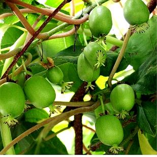 Саженцы актинидии (киви) Фигурная (Curly) - женский сорт, урожайная, морозостойкая