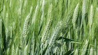 Пшениця озима у асортименті