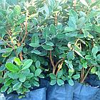 Саженцы Фейхоа (Acca sellowiana), фото 3