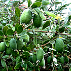 Саженцы Фейхоа (Acca sellowiana), фото 4