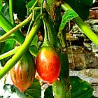 Саженцы тамарилло или томатное дерево (Solanum betaceum), фото 5