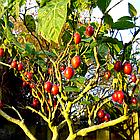Саженцы тамарилло или томатное дерево (Solanum betaceum), фото 6