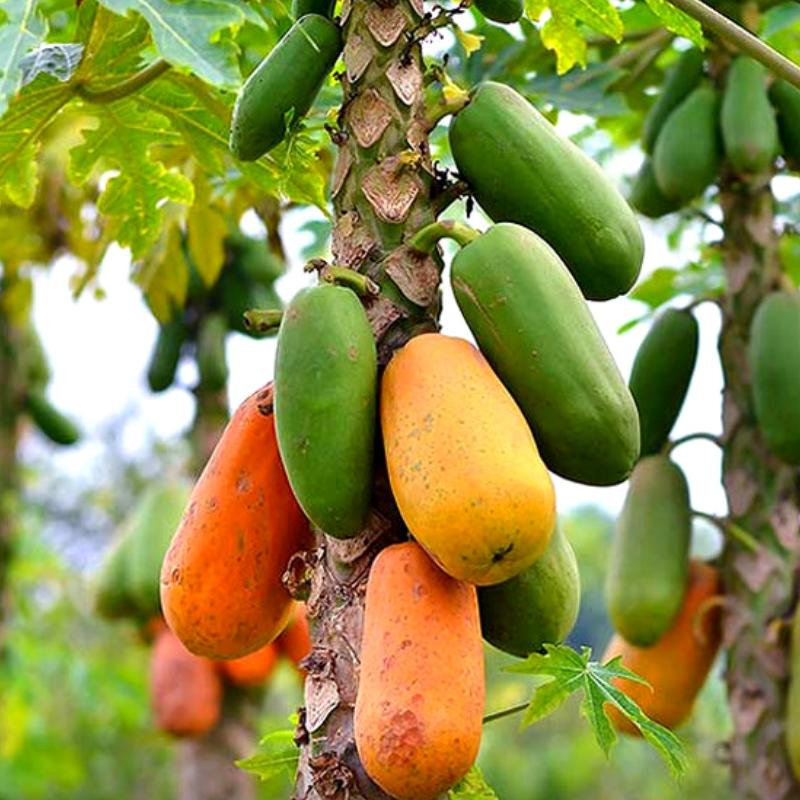 Саженцы Папайи (дынное дерево)(Carica papaya)