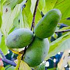Саженцы Азимины трибола Прима 1216 (банановое дерево) - самоопыляемая, морозостойкая, крупноплодная, фото 2