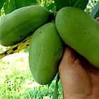 Саженцы Азимины трибола Прима 1216 (банановое дерево) - самоопыляемая, морозостойкая, крупноплодная, фото 3