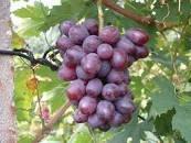 Концентрований сік червоного винограду 25кг/упаковка