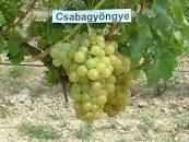 Концентрований сік білого винограду 25кг/упаковка