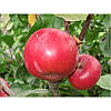 Саженец яблони Ред Кетти