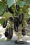 Миледа F1 10 шт семена баклажан Syngenta Голландия, фото 5