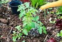 Чем подкармливать кусты помидоров