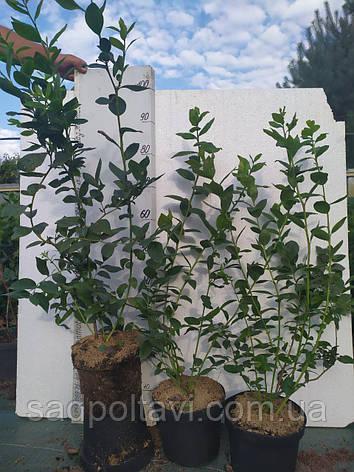 БлуКроп саженцы голубики 3хлетние, фото 2