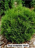 Туя западная Хосери (Thuja occidentalis Hoseri), горшок 1,5 л