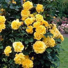 Саженцы вьющейся розы Голден Шоуэрс (Golden Showers)