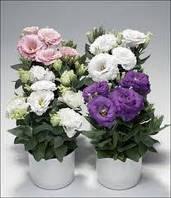 Эустома (лизиантус)смесь цветов  в контейнере ( может быть как комнатная или на улицу посадка)