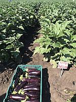 Урожай семян баклажана Kemer F1