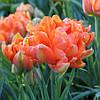 Тюльпан Monte Orange 11\12