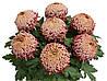 Хризантема  саджанець Irisa (рожева)