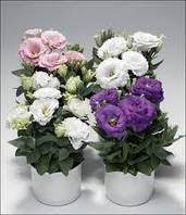 Эустома (лизиантус) смесь цветов  в контейнере ( может быть как комнатная или на улицу посадка)