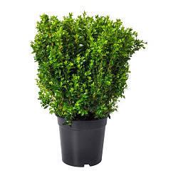 BUXUS SEMPERVIRENS, Комнатное растение