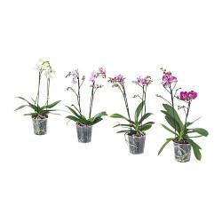 PHALAENOPSIS, Комнатное растение