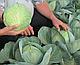 Семена капусты Акварель 2500 семян Nunhems, фото 3