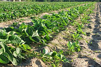 Получение раннего урожая садовой земляники в открытом грунте