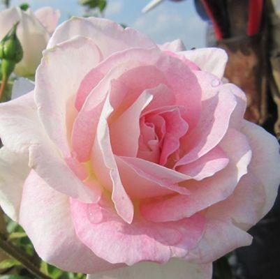 Саженцы Роза Пинк Шампань (лучшая цена купить оптом и в розницу)