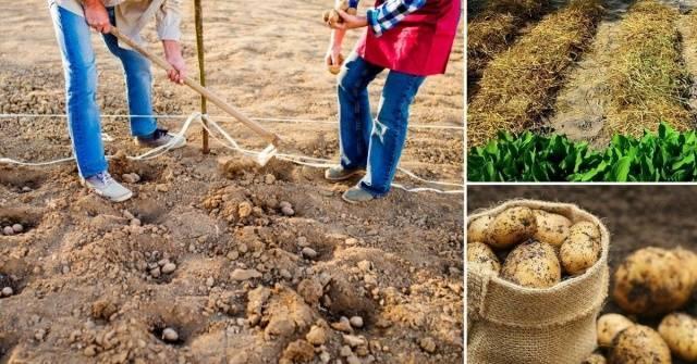 Посадка картофеля Импала