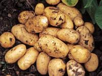 Тонкости выращивания картофеля Импала