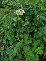 Бедренец камнеломковый трава (50 грамм)