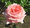 Саженцы розы  Ноблес. Чайно-гибридная роза.