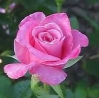 Роза «Приви». (в). Чайно-гибридная роза.