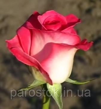 Роза Утро Парижа. (вв). Чайно-гибридная