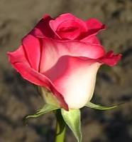 Роза Утро Парижа. Чайно-гибридная. ()