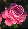 Роза Лин Рено.  Чайно-гибридная.