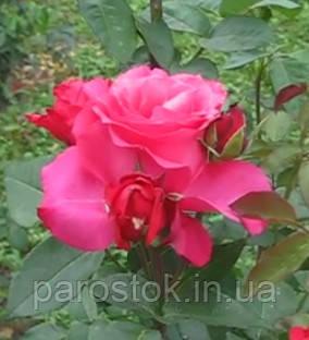 Роза Шопен. Чайно-гибридная роза